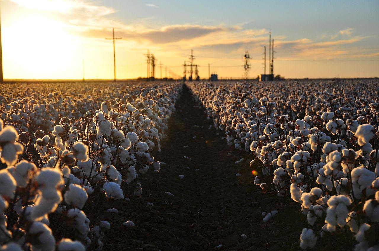 ein großes Baumwollfeld in den USA